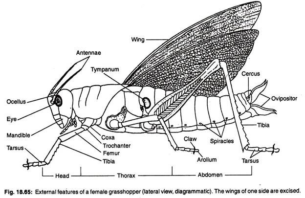Female Grasshopper Diagram - Complete Wiring Diagrams •