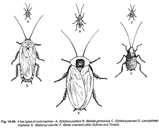 cockroach in vagina