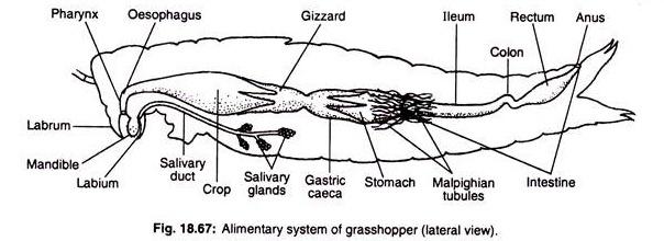 Grasshopper gastric caeca