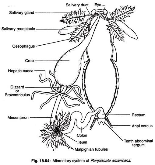 alimentary canal essay The alimentary canal is the long tube of organs that runs from the mouth (where the food enters) to the anus (where indigestible waste leaves) the organs in the alimentary canal include the mouth( for mastication),esophagus, stomach and the intestines.