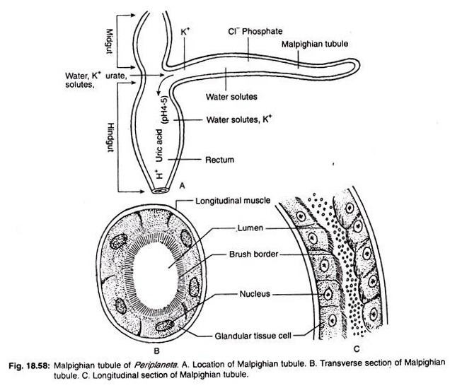 excretory system of cockroach Digestive and excretory systems an insect uses its digestive system to extract nutrients and other substances from the food it consumes most of this food is.
