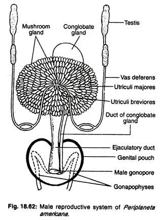 human female reproductive organs essay Female reproductive system (anatomy and physiology) female reproductive system (anatomy and the primary reproductive organs of the female ovaries what organ.