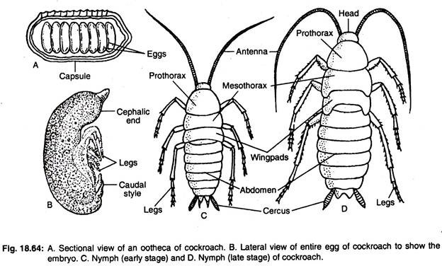 essay on cockroach